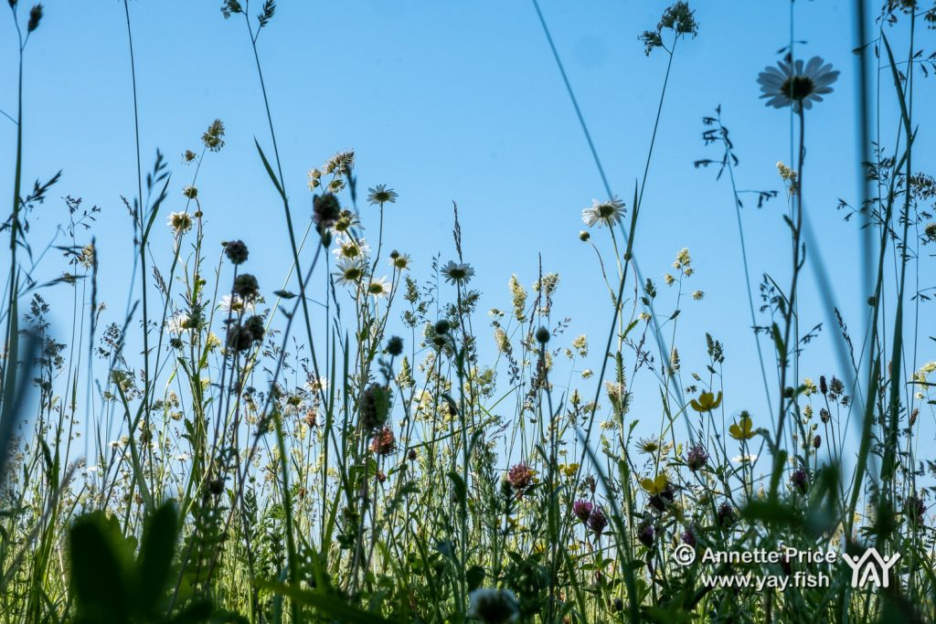 Wildflowers and grasses, Up Nately, Hampshire, UK.