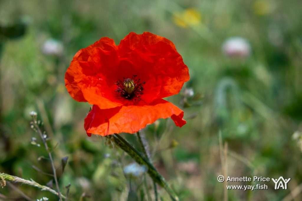 Wild Poppy. Greywell, Hampshire, UK.v