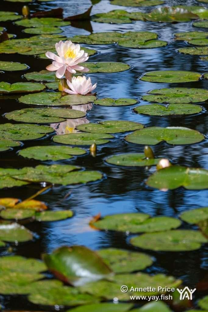 White Waterlily, Hazeley Heath, Hampshire, UK.